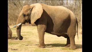 Intelligent Giants - Video 1 - The Nashville Zoo Elephants - Introduction