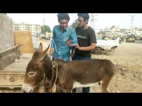Bakra Eid Lahore Vs Karachi - Funny Video