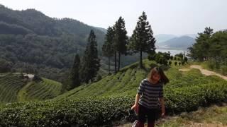 Green tea farm in South Korea