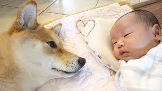 まるで兄弟!赤ちゃんを泣きやませる柴犬の優しいまなざしが可愛い!