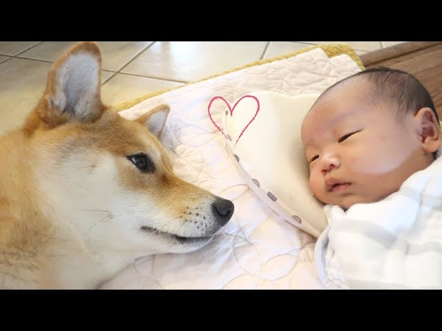 Dog Comforts Crying Baby!