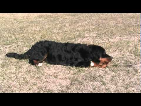 Rockie The Bernese Mountain Dog 6 Months Old Youtube