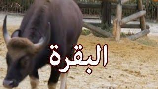الحيوانات - البقرة