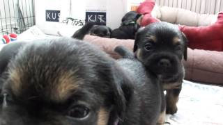 "Border Terrier ""tiggy Topaz"" Pups At 4 Weeks Old (part 1)"