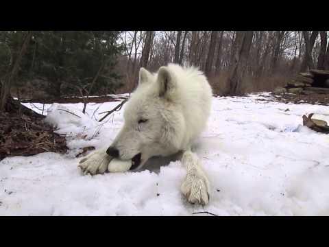 Arctic Wolf Atka Eats An Egg...Eventually