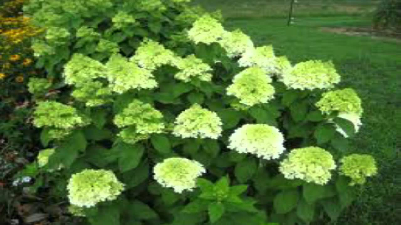 Wonderful Limelight Hydrangea for sale $2.19 at Tn Online Plant Nursery  FZ58