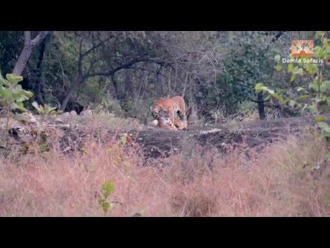 Tigers of Vidarbha