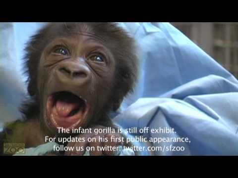 It's a Gorilla! Baby Gorilla Update