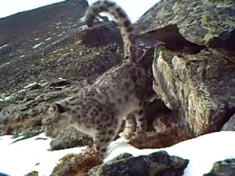 Rare video of Snow Leopard Irbis or Bars in Mongun Taiga mountine group  Tuva Republic