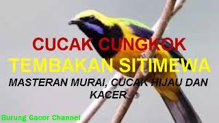Gambar cover CUCAK CUNGKOK TEMBAKAN ISTIMEWA