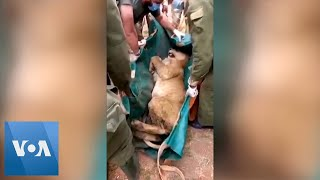 Lion Captured in Residential Area Outside of Nairobi National Park