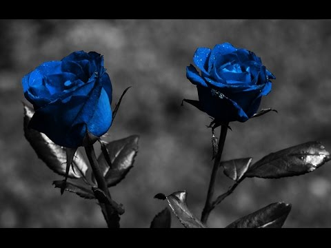 meaning of blue roses flowers