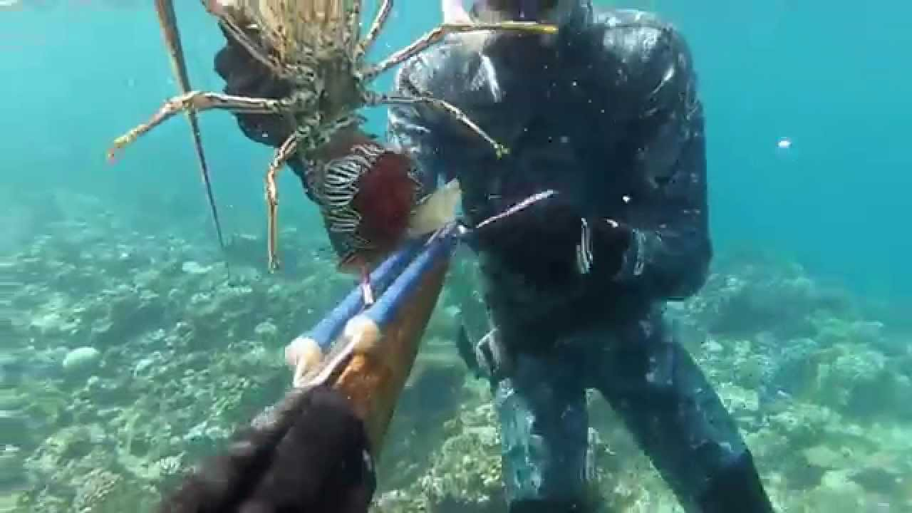 spearfishing great barrier reef painted crayfish capture  release