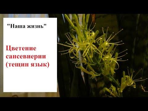 Цветение сансевиерии (тещин язык)