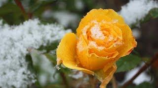 Вопросы о зимовке роз