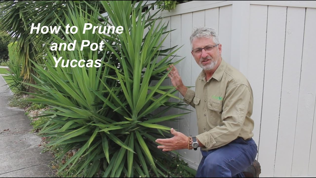 How to Prune and Plant Yuccas - YouTube