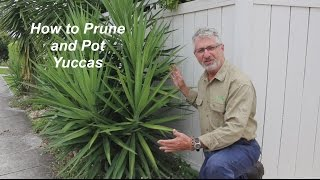 How to Prune and Plant Yuccas