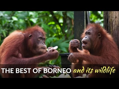 Sabah's wildlife - spotting the animals of orangutan island - Borneo, Malaysia,