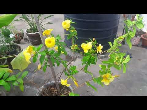 Allamanda plant /golden trumpet vine  care