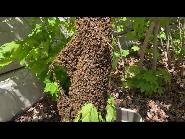 Easy honey bee swarm catch