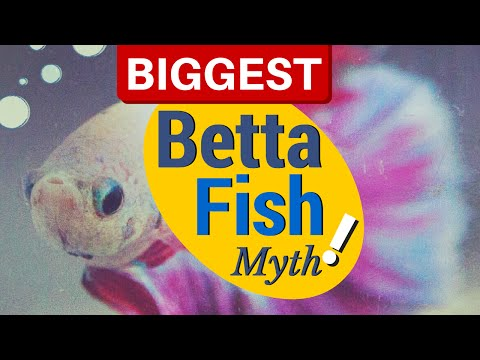 Debunking The Biggest BETTA FISH Myths