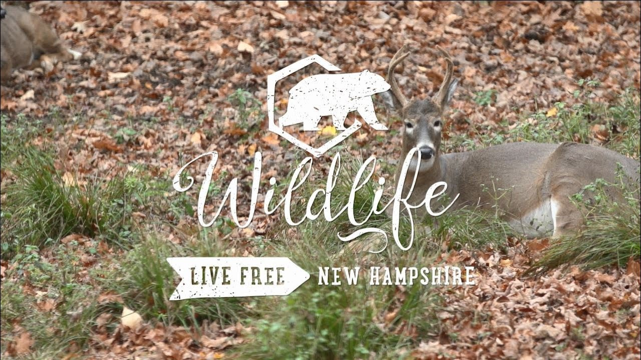New Hampshire's Wild History: 350 Years of New Hampshire Wildlife with Pete McVay – May 5 @ 6:30