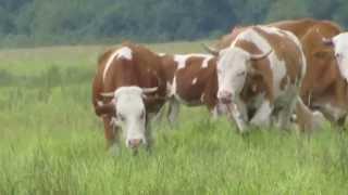 Posavski konji i krave