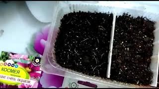 Махровая космея - выращиваем из семян.. Зачем я сею ее на рассаду??