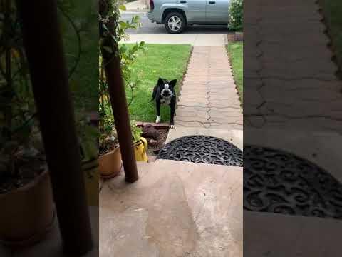 Aggressive Boston Terrier