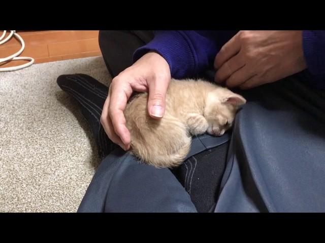 何度も膝の上に戻ってくる子猫に癒される It is healed by the kitten of the spoilt child