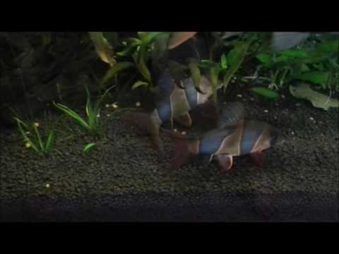 Clown Loaches - EPIC Battle Of Strength