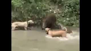 Собаки против кабана