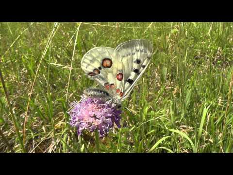 Apollofalter (Apollo butterfly, Roter Apollo, Parnassius apollo melliculus) in Deutschland (3)