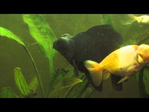 My Black Moor Goldfish Blackie Is Growing So Quickly !