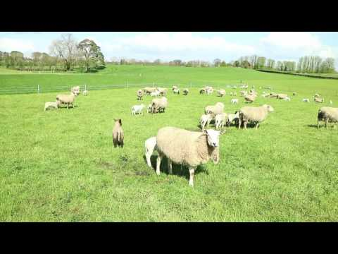 Transformed Grass Sheep System In Westmeath
