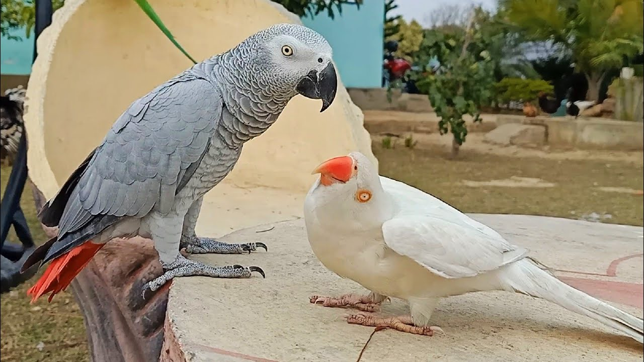 Indian Ringneck Parrot in Love with African Grey Parrot