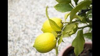 Download lagu Come coltivare il limone