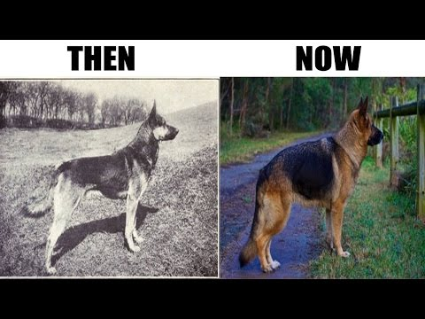 How 100 Years Of Breeding Changed These Popular Dog Breeds