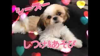 シーズー★マルワン武蔵浦和店(さいたま市のペットショップ) thumbnail
