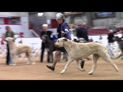 1-7-2018 Nolan River Kennel Club - Irish Wolfhounds