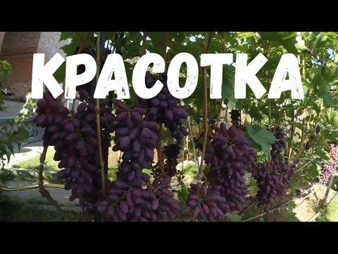 KRASOTKA. Overview of Vadim Tochilin Vineyard Varieties/Красотка. Обзор виноградника Вадима Точилина