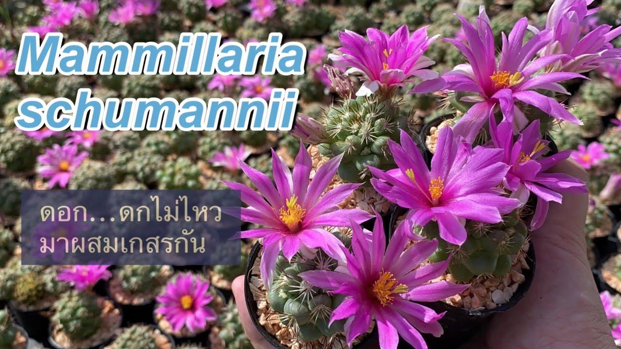 สอนผสมเกสร...กระบองเพชรดอกสวยเลี้ยงง่าย Mammillaria schumannii | PB CACTUS Channel