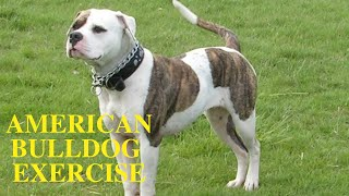 American Bulldog Exercise [Needs and Ideas]