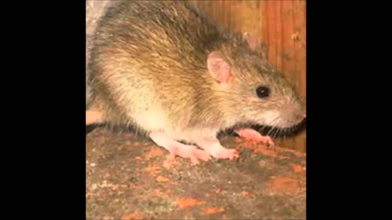 Șobolan de vierme. SUA în alertă din cauza unui parazit mortal care atacă creierul uman