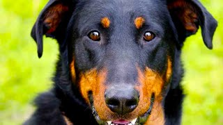 Beauceron  Top Dog Facts You Need To Know