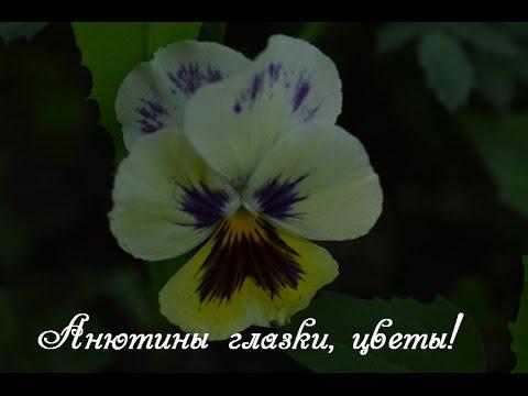 Анютины глазки цветы.  Посадка семян на рассаду!