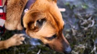 散歩中に田んぼに張った氷をぼりぼりやる我が家の屋久島犬「ねね」。 チ...