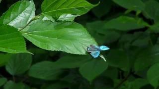 この時期だけ里山の森に姿を現すブルーの光沢に輝く小さいチョウです。