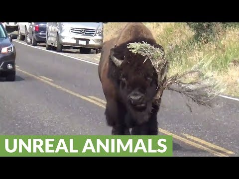 "Bison strolls down road ""modelling"" massive tree branch"