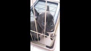 犬 #ブルドック #フレンチブルドッグ #bulldog #frenchbulldog チャンネ...